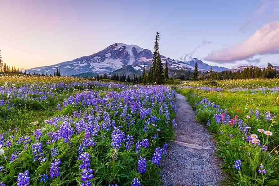 trail and flowers in front of mountains